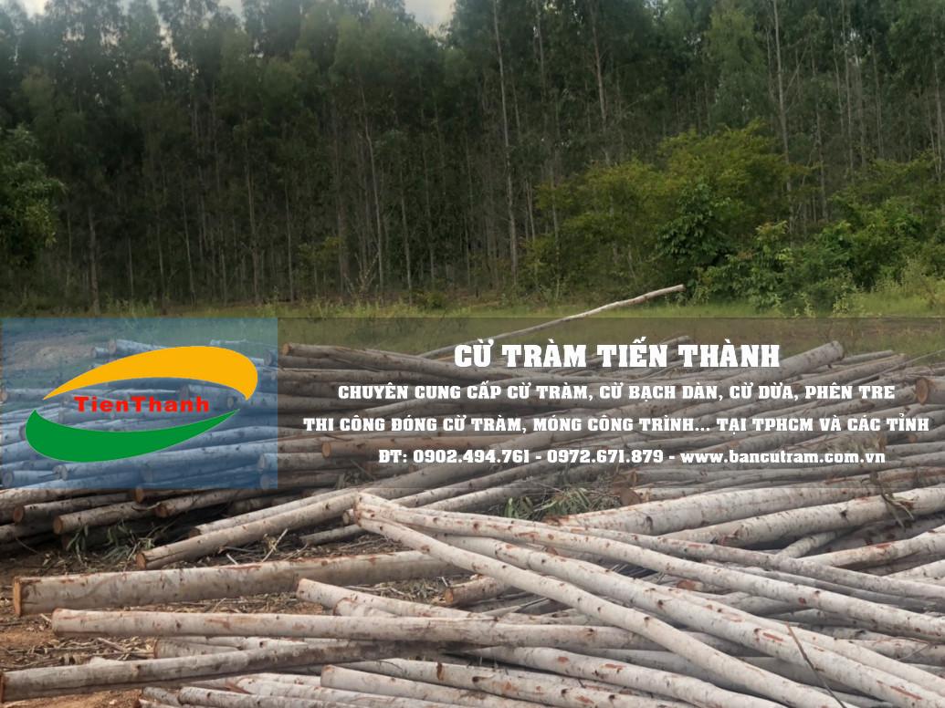 Địa chỉ báo giá cọc bạch đàn, mua bán cây chống bạch đàn ở HCM