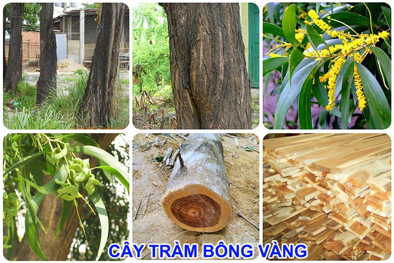 Đặc điểm của cây tràm bông vàng: Mua gỗ tràm bông vàng ở đâu, Báo giá gỗ tràm bông vàng