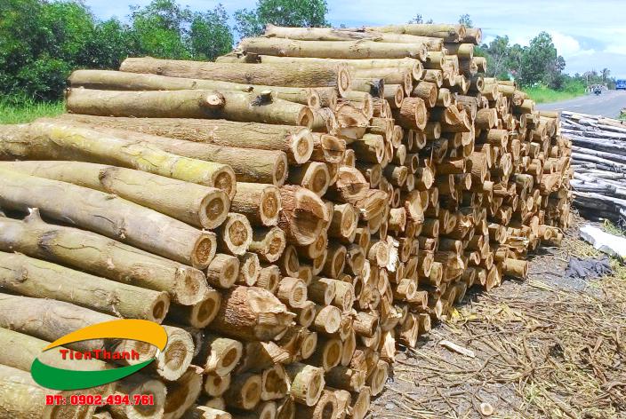 Nhà cung cấp gỗ tràm bông vàng Tiến Thành Bán gỗ tràm bông vàng giá rẻ, Báo giá gỗ tràm bông vàng